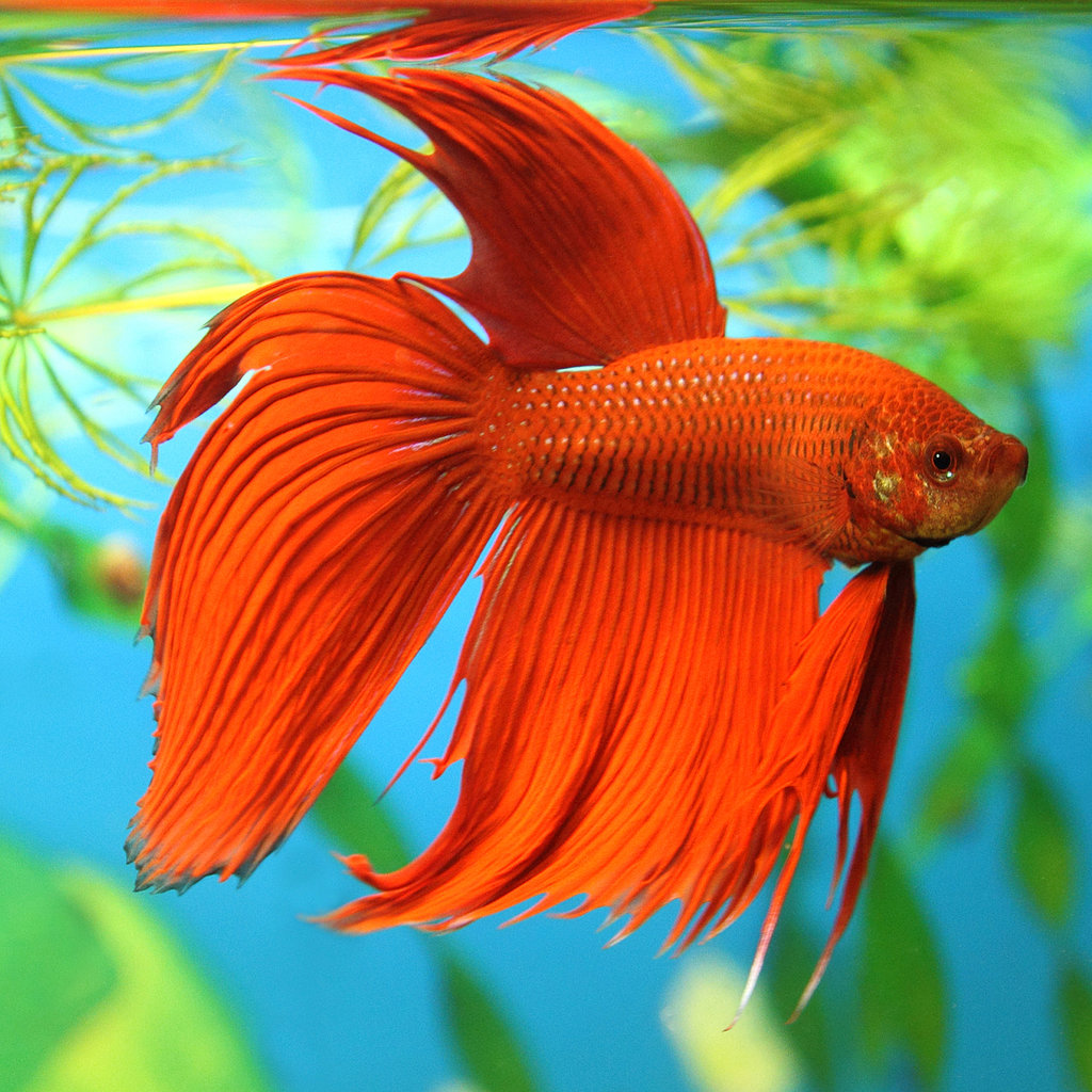 Betta splendens - Bojovnice pestra SUPER ZOO