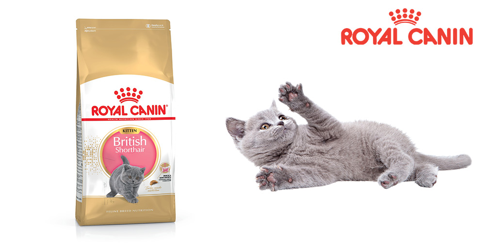 royal canin kitten british shorthair 400g super zoo. Black Bedroom Furniture Sets. Home Design Ideas
