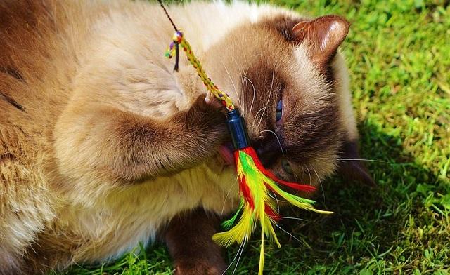 kočka si hraje s vábničkou