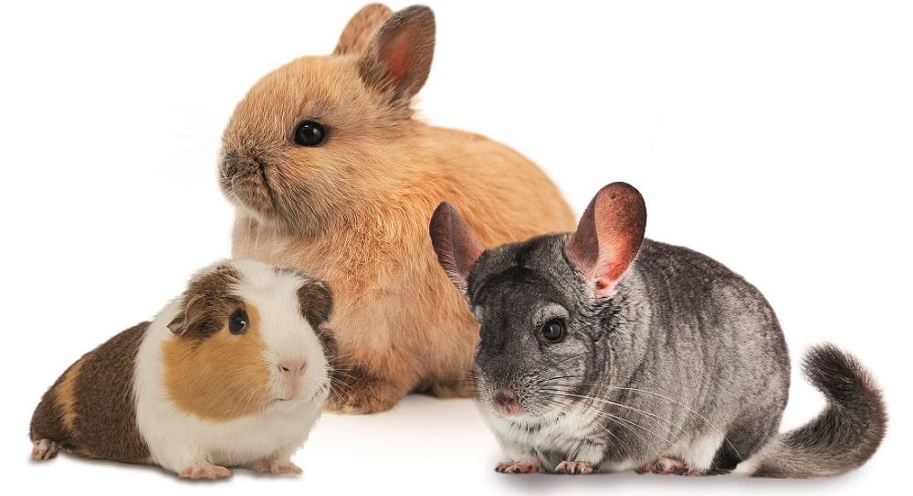 činčila, králík a morče