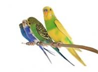 Malí papoušci