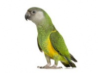 Střední papoušci