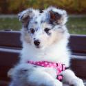 SK Puppy Ch Adorable Snowflake Deena's Victory