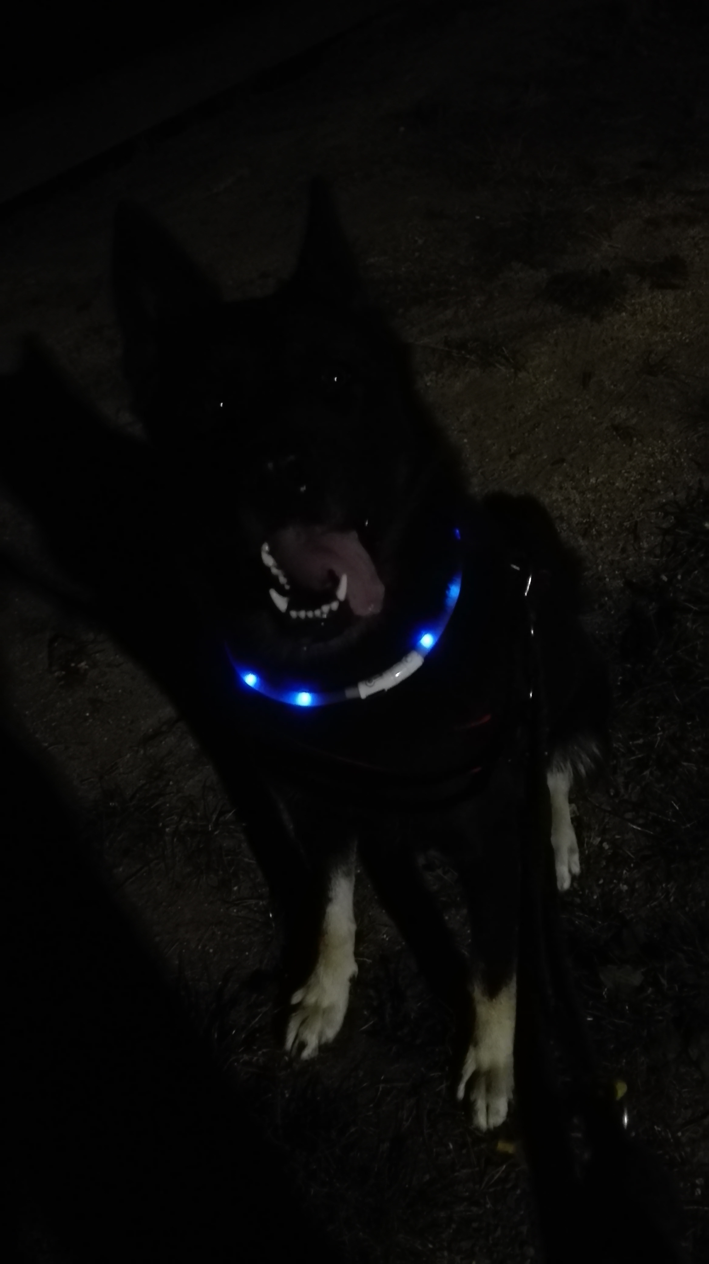 Vytáhnutí svítícího obojku ze skříně. Černej pes ve tmě  fakt není vidět :)