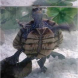 Želvák