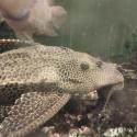 Pterygoplichthys gibbiceps title=
