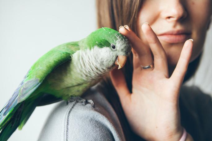 Přepeřování papoušků, andulek a ptáků